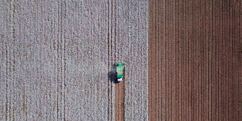 Harvesting conventional cotton