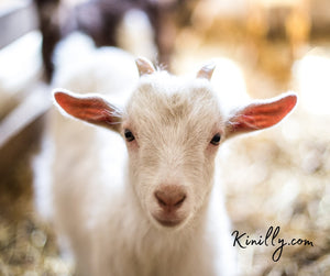 What Are The Amazing Benefits Of Goat Milk Soap?