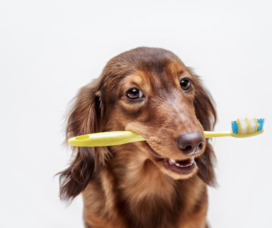 Did you know that coconut oil can be used to brush dog's teeth