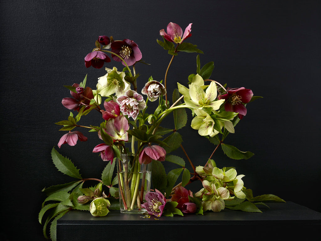 Kevin Dutton - Mixed Hellebores 1