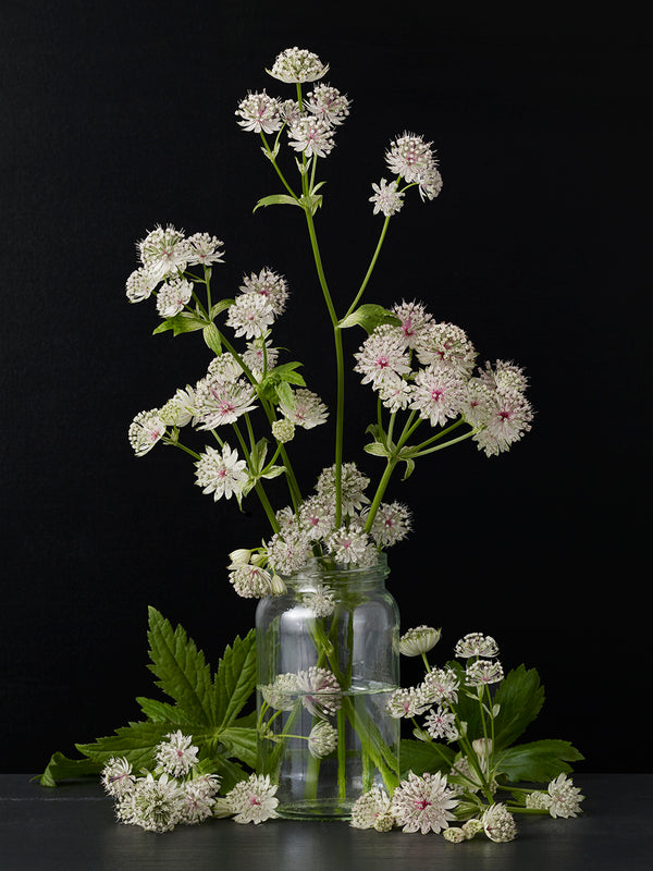 Kevin Dutton - Astrantia #2