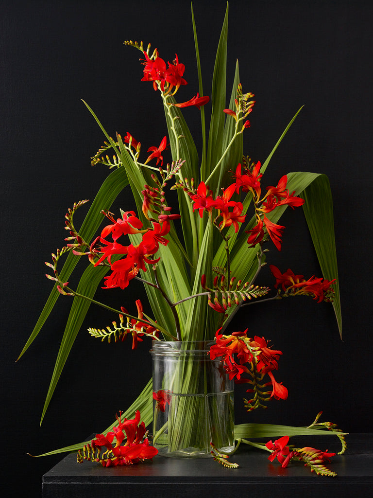 Kevin Dutton - Crocosmia 1
