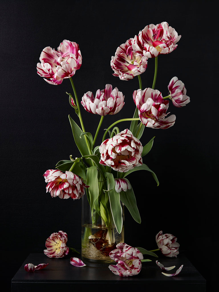 Kevin Dutton - Tulips 6