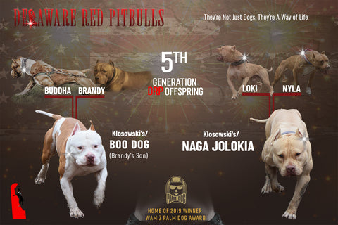 """Brandys"" son Boo Dog ⚔ Naga Jolokia male puppy reservation deposit ( Male )"