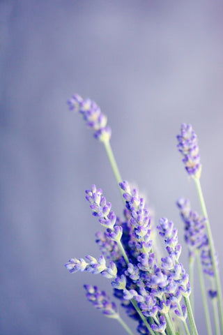 Pure Organic Lavender Essential Oil - Stress Relief Oils-Essential Oils-Aromatherapy Oils-High Quality Oil-Calming Oils