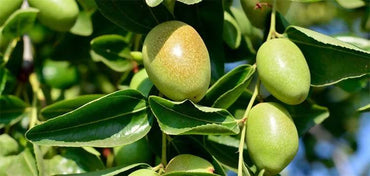 Jojoba Golden Carrier Oil - 100% Pure Jojoba Oil - Therapeutic grade, Soothe skin & Moisturizing - Aromatherapy, Natural Beauty, Skincare