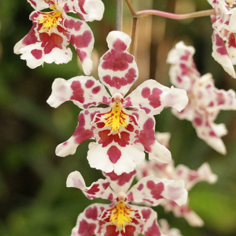 Orquídea Odontoncidium King Diamond