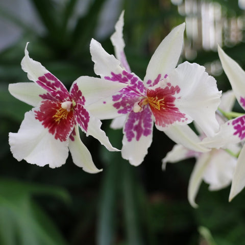 Orquídea Beallara Big Shot Pacific Hilo Sparkle