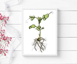 Pea Sprout - Garden Inspired Watercolor - Art Print
