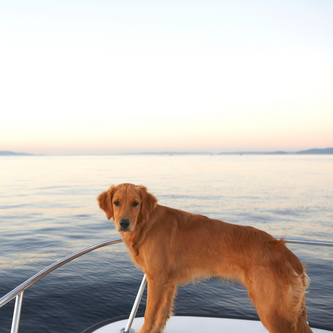 Summer Boating Dog