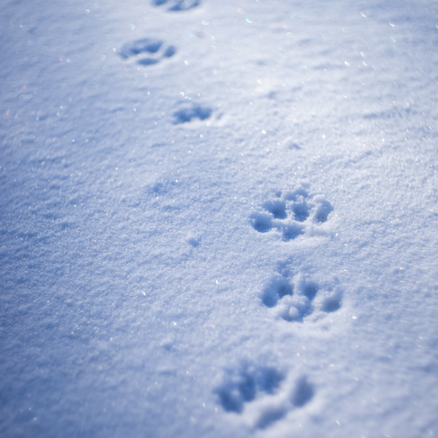 Winter Paw Prints