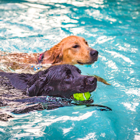 Swimming Dog Buddies