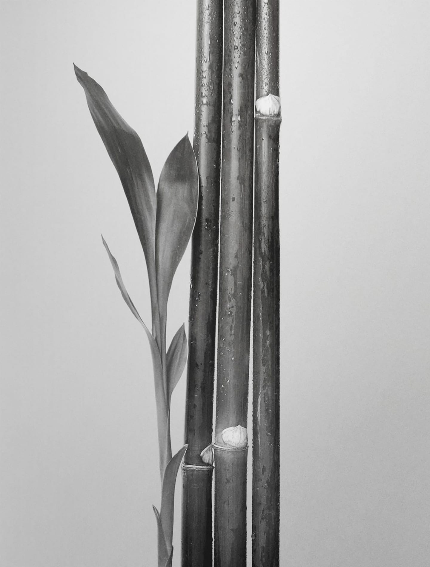 Bamboo stalks and leaf (black and white)