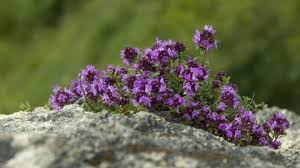Wild thyme in the Alps