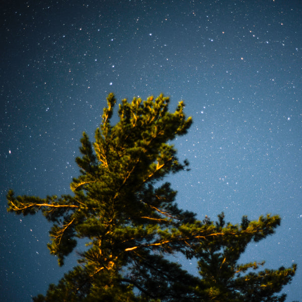 Pine At Night