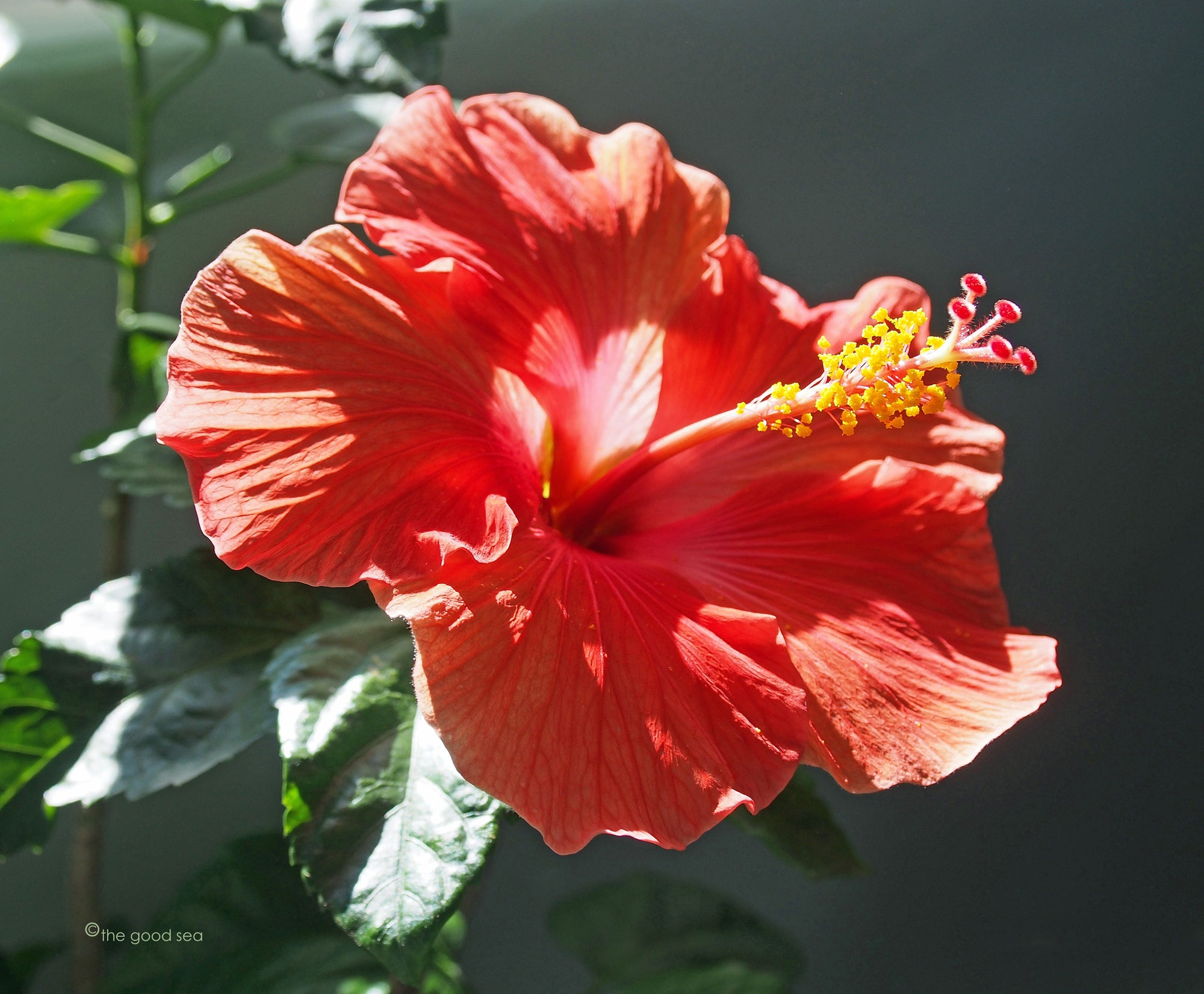 Red Hibiscus Flower Full Beauty Photo Art Wall Print Matted