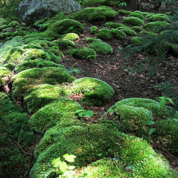 Cushion Moss (Leucobryum glaucum) - Large Fragments: Covers 50 sq ft