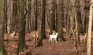 """A Magical Moment"" by Carl Sams II captures a white deer in the woods bordering Kensington Metro Park."