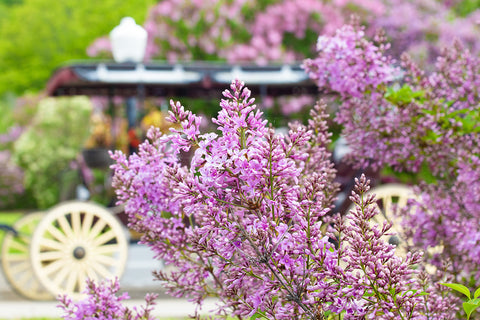 "Lilac Blooms by Jennifer Wohletz.  Photography on canvas mounted on black styrene. 10"" x 15""  Description:  A riot of lilac blooms frame a horse-drawn carriage parked in front of Mackinac Island's Marquette Park.  In June, a canopy of fragrance settles over Mackinac Island as hundreds of lilacs bloom throughout the island."