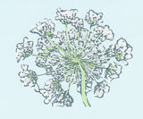 Queen Anne's Lace. 7 x 5 in.  Original multi-color, mixed media linoleum block print by Michigan artist Natalia Wohletz of Peninsula Prints.  This floral art print is created from the perspective of looking up at a Queen Anne's Lace bloom. Printed on blue paper. Floral art print. Original artwork.