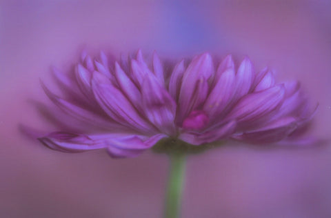 Purple Mum Painterly Flower #2- photography