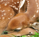 Sleeping Fawn – photograph