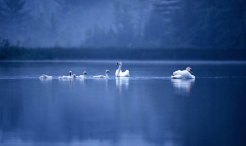 Swan Family – photograph