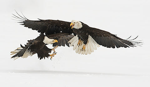 """Don't Mess with Big Moma"" 24"" x 30"" Matted Photograph of Two Eagles"