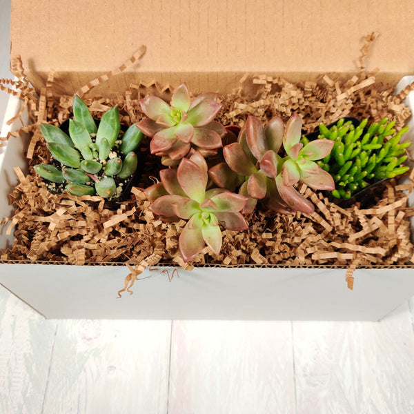 Succulent Assortment Trio