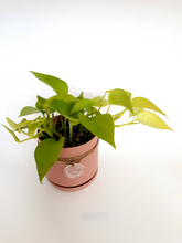 Load image into Gallery viewer, Neon pothos in small pink oslo pot