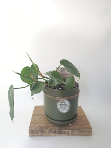 Heart Leaf Philodendron in small avocado pot - Where The Green Things Are