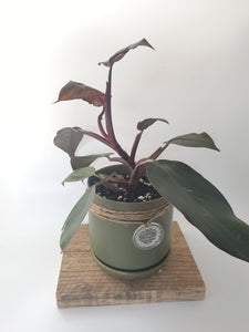 Philodendron pink princess in small avocado pot - Where The Green Things Are
