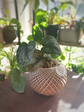 Load image into Gallery viewer, Silver Satin Pothos - Where The Green Things Are