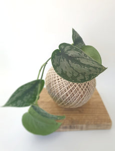 Silver Satin Pothos - Where The Green Things Are