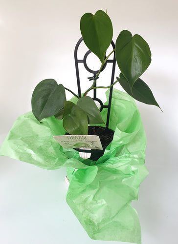 Heart Leaf Philodendron - Where The Green Things Are