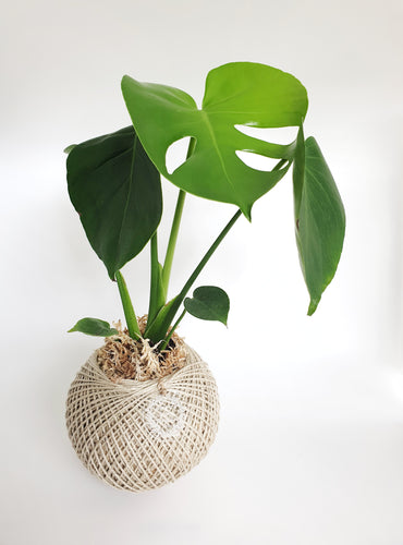 Monstera Deliciosa Kokedama MEDIUM