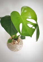 Load image into Gallery viewer, Monstera Deliciosa Kokedama MEDIUM