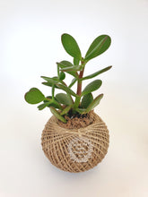 Load image into Gallery viewer, Crassula ovata