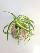 Load image into Gallery viewer, Spider Plant