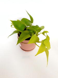 Neon pothos in small pink oslo pot