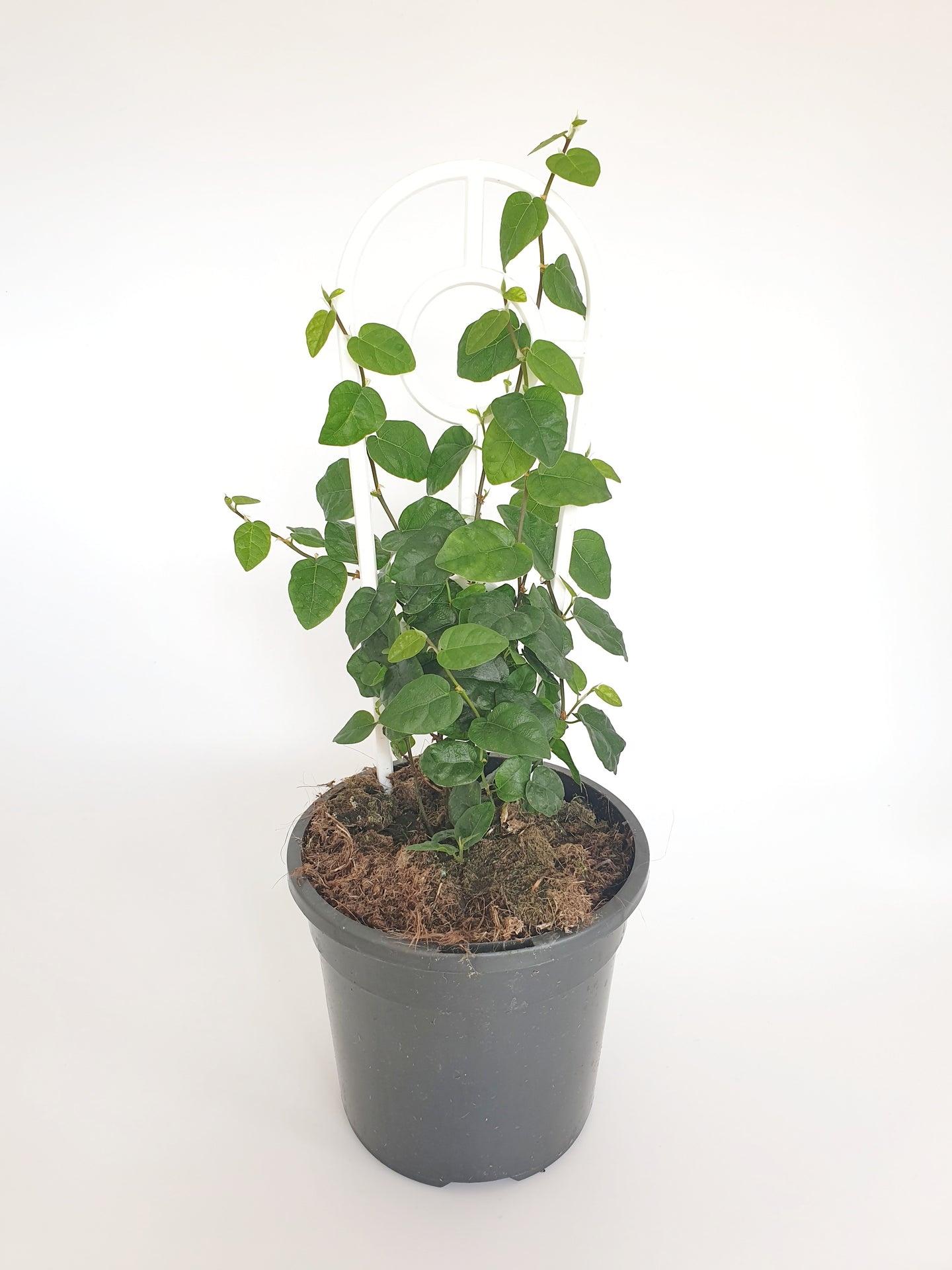 Ficus pumila creeping fig