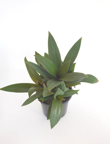 Rhoeo spathacea dwarf/Moses in the cradle