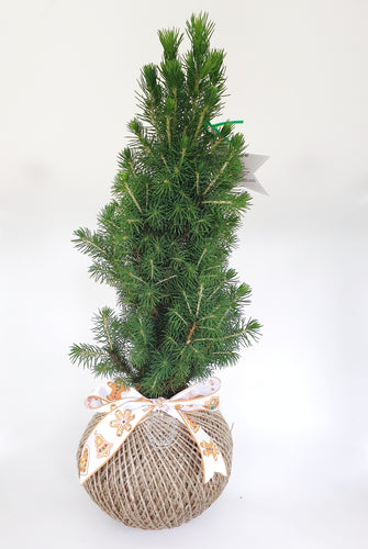 Christmas tree - Picea glauca