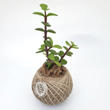 Load image into Gallery viewer, Jade Plant/Money Tree MINI
