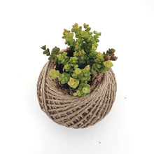 Load image into Gallery viewer, Crassula variety MINI