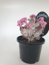 Load image into Gallery viewer, Kalanchoe pumila