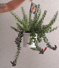 Load image into Gallery viewer, Curly Lipstick Plant