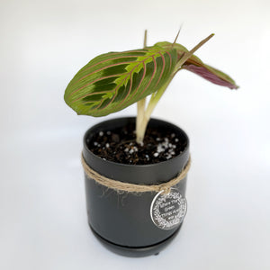 Maranta leuconeura red and black in small black oslo planter