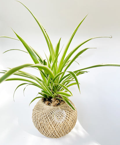 Spider plant kokedama MEDIUM