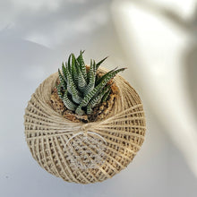 Load image into Gallery viewer, Haworthia zebrina SMALL